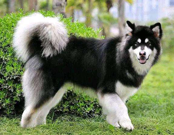 阿拉斯加犬