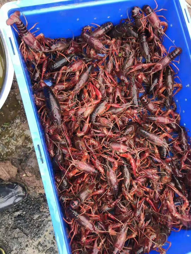 陈记生态农业园全部都是生态小龙虾。明天试营业开始垂钓欢迎大家